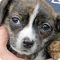 Adopt A Pet :: Monet - Germantown, MD