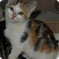 Domestic Shorthair Kitten for adoption in Chattanooga, Tennessee - Bailey