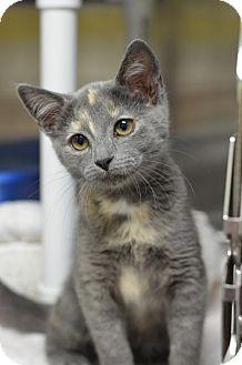 Domestic Shorthair Kitten for adoption in Atlanta, Georgia - Candy Corn161831