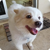 American Eskimo Dog Dog for adoption in Bradenton, Florida - Annie of Cape Coral, FL