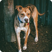 Adopt A Pet :: Charlie Brown - Mississauga, ON