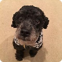 Poodle (Miniature)/Miniature Schnauzer Mix Dog for adoption in Parker Ford, Pennsylvania - Potter