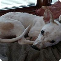 Adopt A Pet :: Roo - Flossmoor, IL
