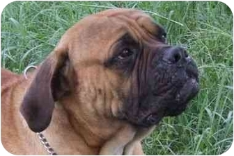 Bullmastiff Dog for adoption in Oviedo, Florida - Okie