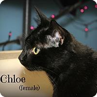 Domestic Shorthair Cat for adoption in Glen Mills, Pennsylvania - Chloe