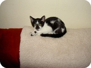 Domestic Shorthair Kitten for adoption in Gilbert, Arizona - Jersey