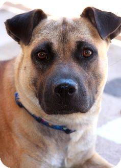 Sasha | Adopted Dog | Phoenix, AZ | German Shepherd Dog ...