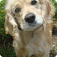 Adopt A Pet :: Asher - Sugarland, TX