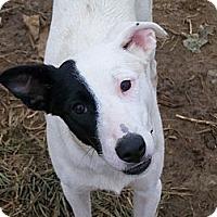 Adopt A Pet :: Ace - Albany, NY