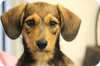 Dachshund Mix Puppy for adoption in Oakville, Connecticut - Candy