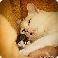 Adopt A Pet :: Giza - St. Louis, MO