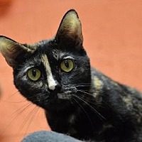 Domestic Shorthair Cat for adoption in Atlanta, Georgia - Fudgesicle 13140