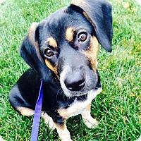 Adopt A Pet :: ***COURTESY LISTING**** Maggie - Minneapolis, MN
