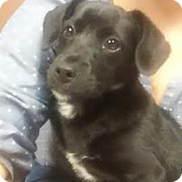 Adopt A Pet :: ZCL Young Pup - Horn Lake, MS