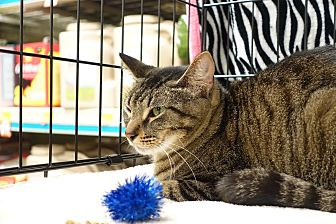Domestic Shorthair Cat for adoption in College Station, Texas - Crackle