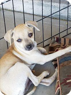 Chihuahua/Pug Mix Puppy for adoption in Phoenix, Arizona - Willow