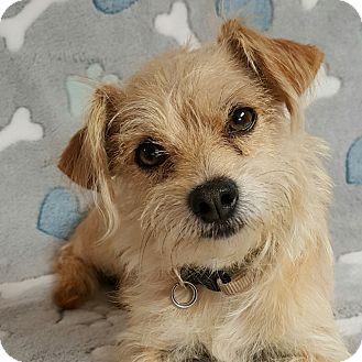 Terrier (Unknown Type, Small) Mix Dog for adoption in Yucaipa, California - HIggins