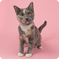 Domestic Shorthair Kitten for adoption in Wilmington, Delaware - Chloe