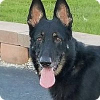 Adopt A Pet :: Perseus - Kouts, IN