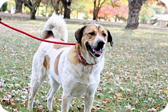 Great Pyrenees/Australian Cattle Dog Mix Dog for adoption in richmond, Virginia - HEAVEN CAN'T WAIT