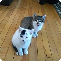 Domestic Shorthair Kitten for adoption in Hanover, Ontario - Pop