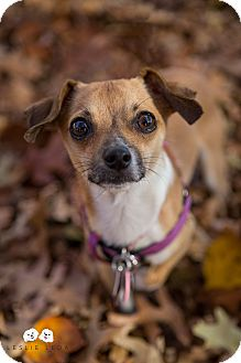 Chihuahua/Terrier (Unknown Type, Small) Mix Dog for adoption in Verona, New Jersey - Zorn