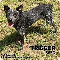 Adopt A Pet :: Trigger - Spring, TX