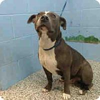 Pit Bull Terrier Dog for adoption in San Bernardino, California - URGENTNOW!  San Bernardino