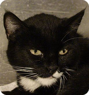 Domestic Shorthair Cat for adoption in El Cajon, California - Bibi