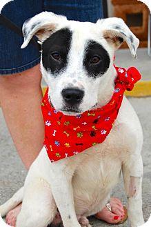 Border Collie/Terrier (Unknown Type, Medium) Mix Puppy for adoption in Baton Rouge, Louisiana - Ringo