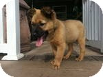 Shepherd (Unknown Type) Mix Puppy for adoption in Marlton, New Jersey - Baby Zac
