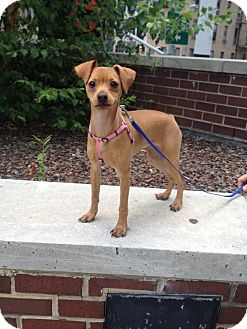 Miniature Pinscher Puppy for adoption in New York, New York - Melvin