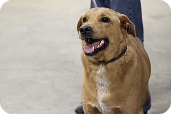 Labrador Retriever/Golden Retriever Mix Dog for adoption in Brattleboro, Vermont - Ralph