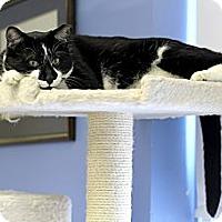 Adopt A Pet :: Simon Masters - Chicago, IL