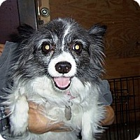 Adopt A Pet :: Miss Mollie - Shawnee Mission, KS