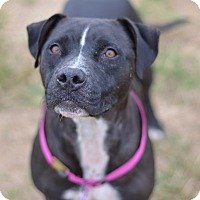 Adopt A Pet :: Nestle Rose(foster care) - Philadelphia, PA