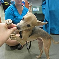 Chihuahua Mix Dog for adoption in Fresno, California - Jojo