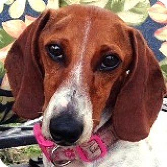 Dachshund Dog for adoption in Houston, Texas - Kenickie Murdock