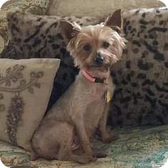 Dallas, TX - Yorkie, Yorkshire Terrier. Meet Lacy a Dog ...