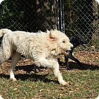 Adopt A Pet :: Boo - Charlemont, MA