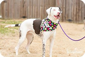 Catahoula Leopard Dog Dog for adoption in Memphis, Tennessee - Mary