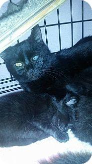 Domestic Shorthair Cat for adoption in Acworth, Georgia - Chardonnay