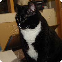 Domestic Shorthair Cat for adoption in Overland Park, Kansas - Beckie