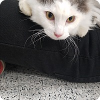 Adopt A Pet :: Pugsly - Pasadena, CA