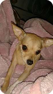 Chihuahua Mix Dog for adoption in Orange, California - Priscilla