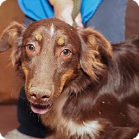Australian Shepherd Dog for adoption in Colorado Springs, Colorado - Steve