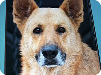 German Shepherd Dog Dog for adoption in Los Angeles, California - SIMBA VON JASMIN