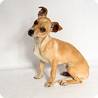 Adopt A Pet :: Rose Chi - St. Louis, MO