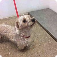 Adopt A Pet :: DOODLE - Lawrence, KS