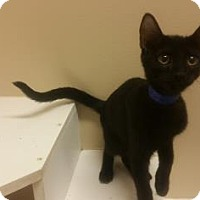 Domestic Shorthair Kitten for adoption in Cumming, Georgia - Teddy